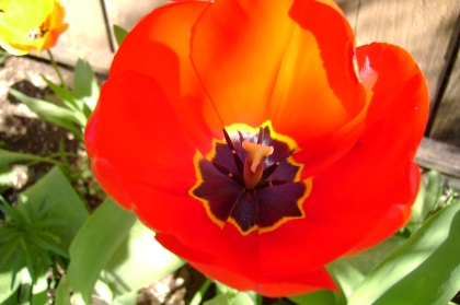 red open tulip