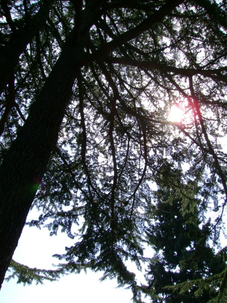 pine tree morning