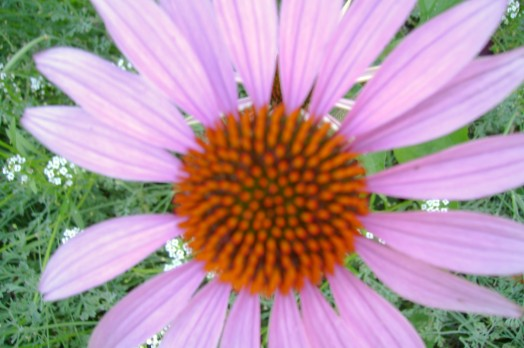 purple coneflower by SBI