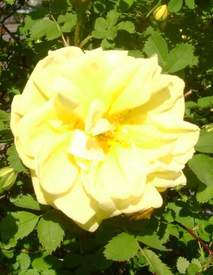 lemon rose cu
