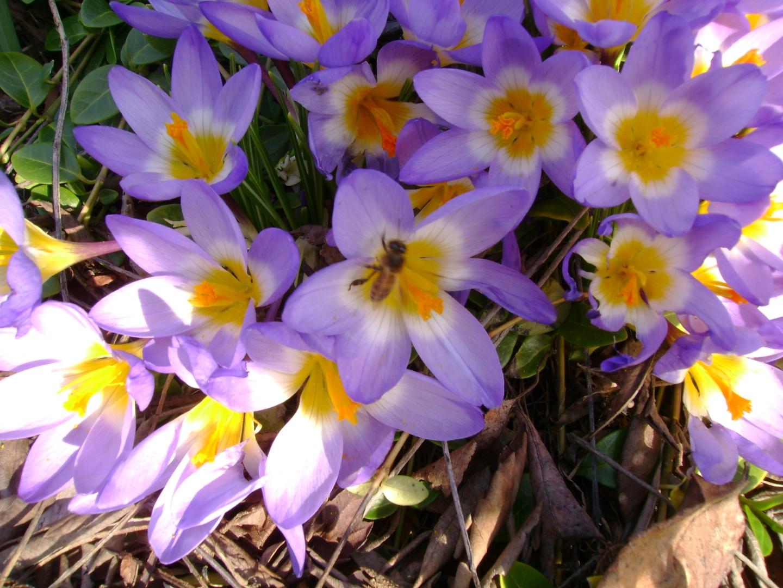 lavender crocus bunch with bee