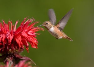 bee-balm and hummingbird
