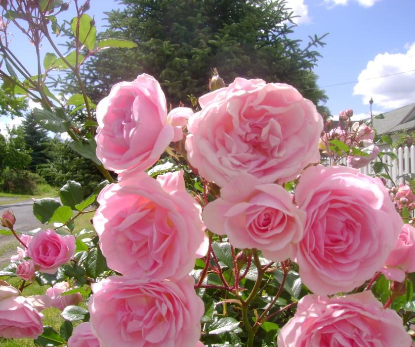 flowers pink roses in neighborhood