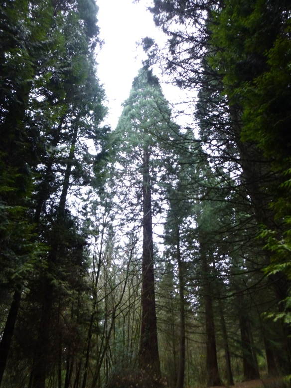 The tall pines of the Pacific Northwest