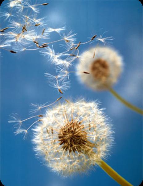 dandelions-