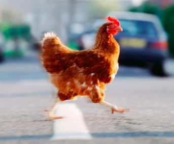 why-chicken-crossed-the-road
