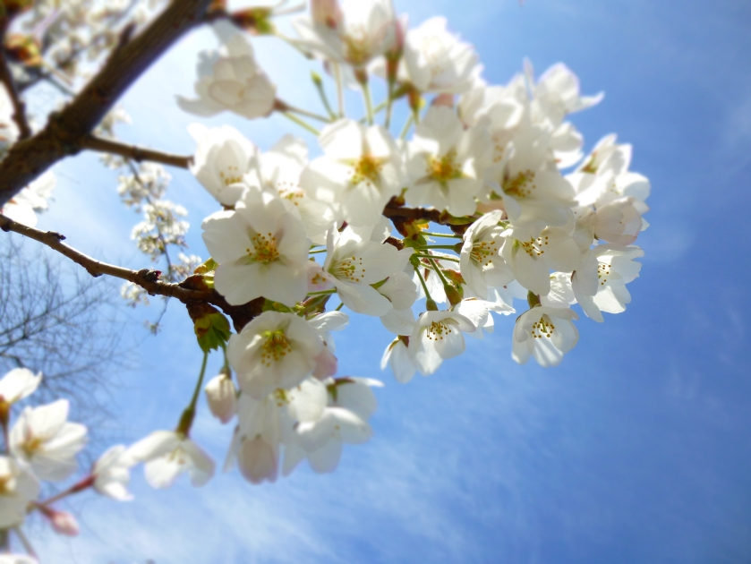 day in the life cherry blossom and blue sky