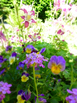 Columbine, phlox and Johnny jump ups. Credit SBI