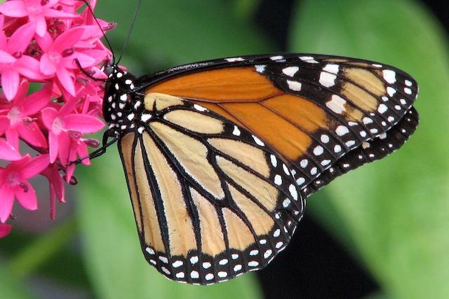 monarch2_141256867