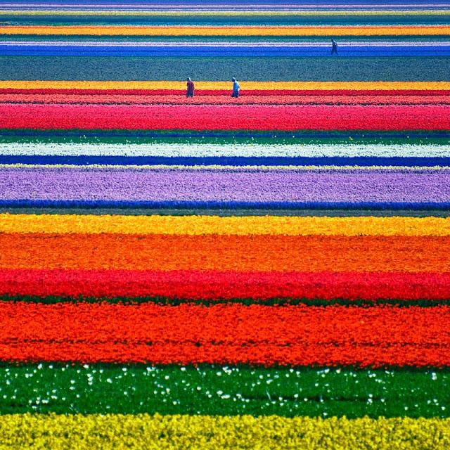tulip fields--flowers