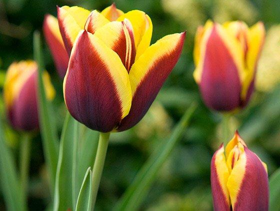 tulips gavota-560_86731o