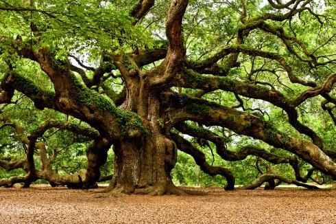 Oak-Trees