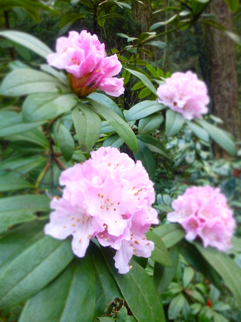 Rhododendron pink by N.L McKinley
