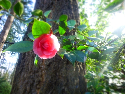 Camellia pink at Grotto Credit N.L McKinley