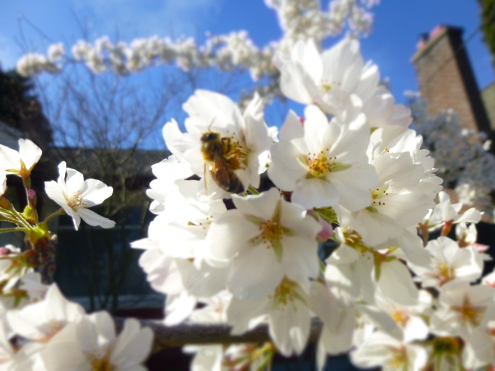 bee in Yoshino Cherry blossoms credit N.L. McKinley