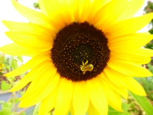 Optimistic Sunflower and Bee. Credit N.L McKinley