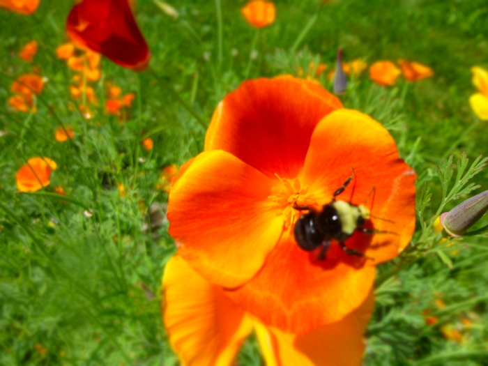 Bumble Bee in June accompanied by Orange Poppy. Credit: N.L. McKinley