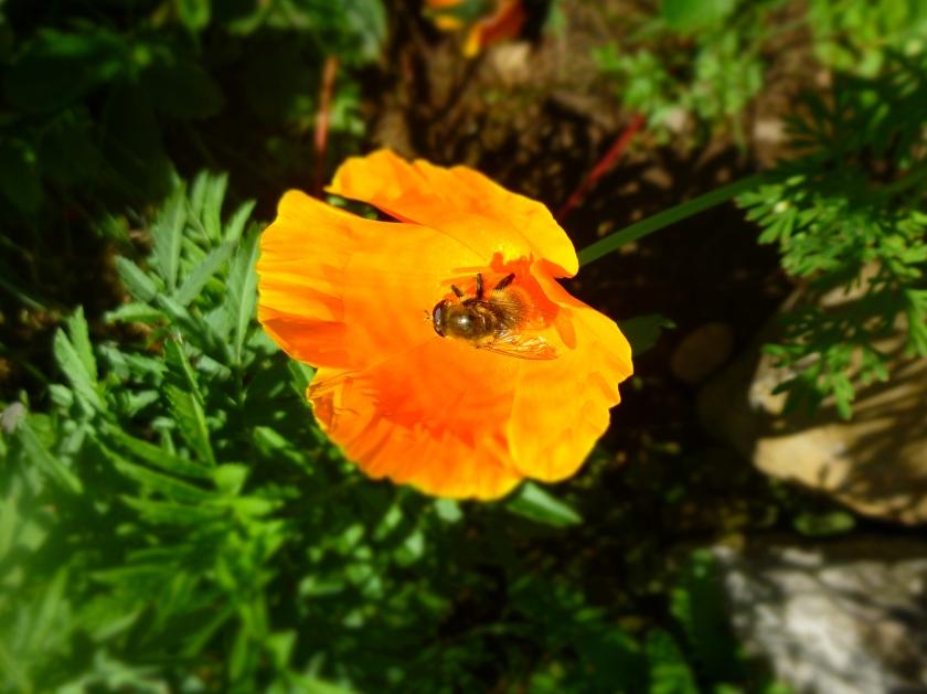Honeybee in June by N.L McKinley