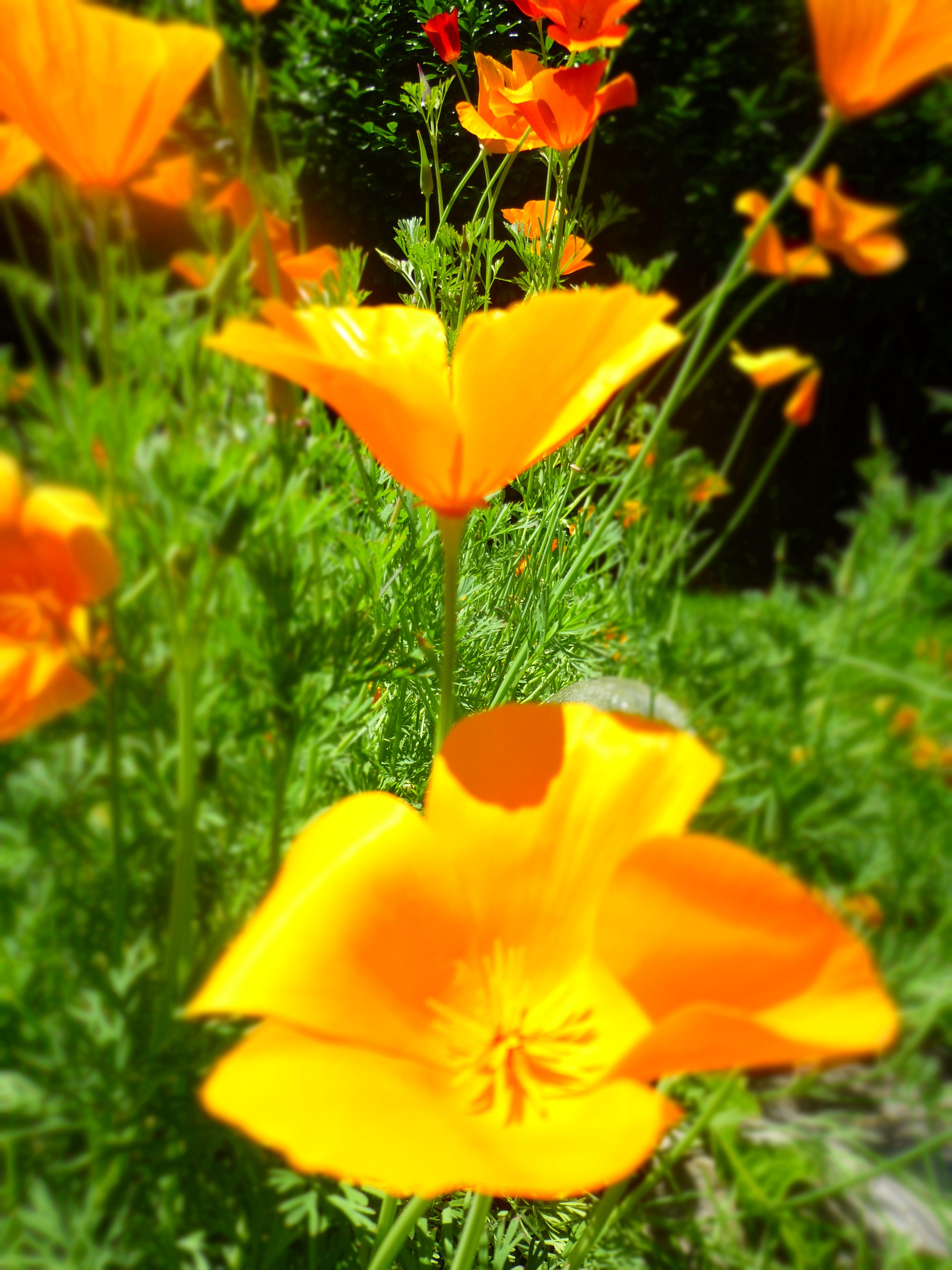 California Poppy in June Credit: N.L. McKinley