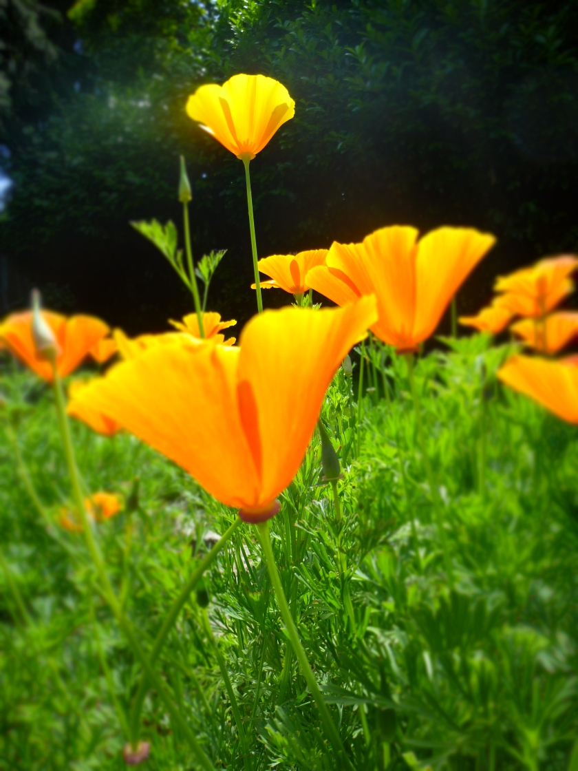 California Poppy in June Credit: N.L. McKinley