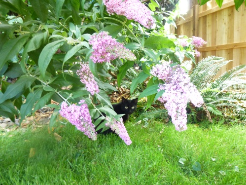 Ebony the cat and Butterfly Bush by N.L McKinley