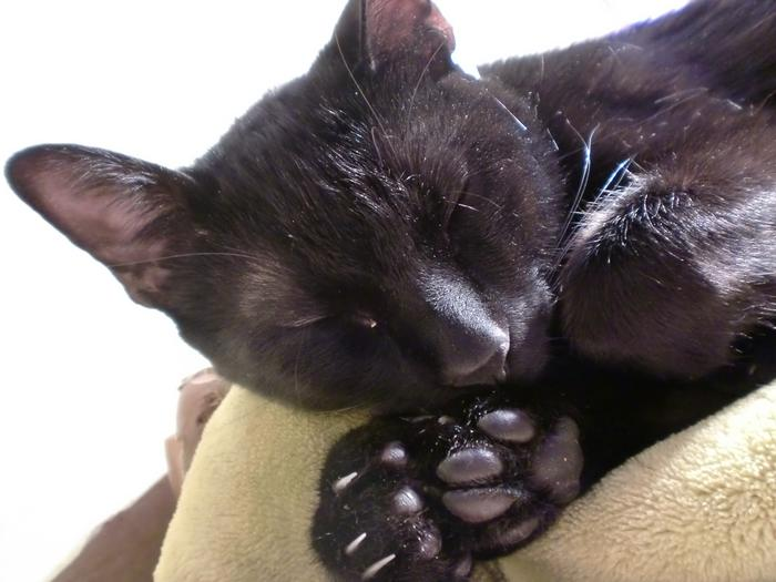my-little-panther-sleeping cat