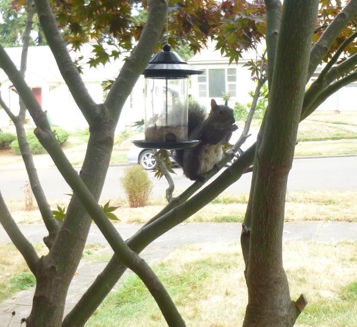Jerome the squirrel, resident bird feeder raider and scolder.