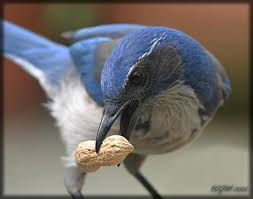 Scrub Jay with peanut. Credit: Public Domain.