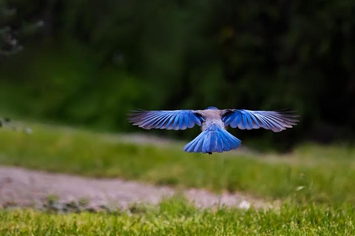 scrub jay flying blue bird
