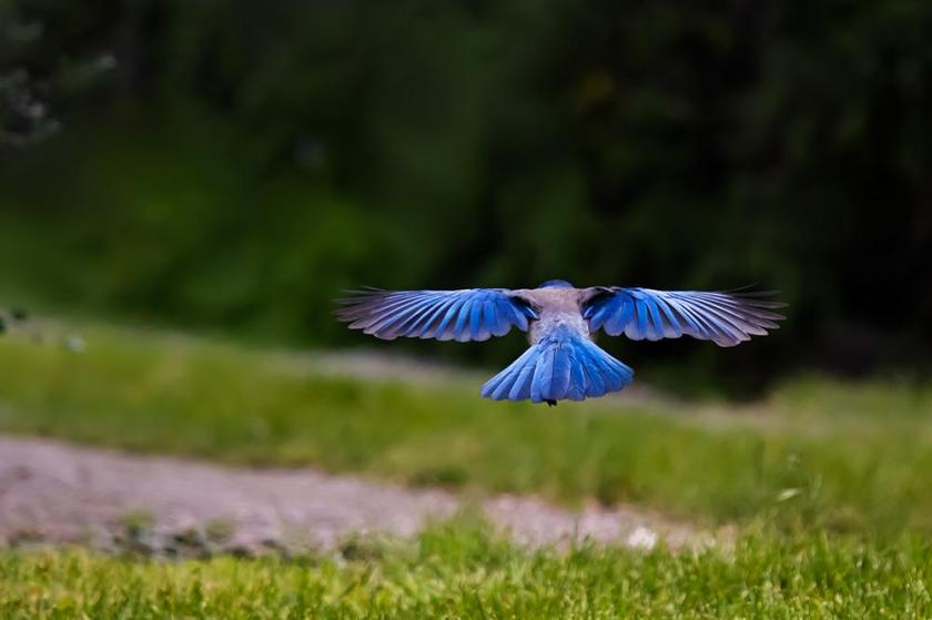 scrub jay flying blue bird