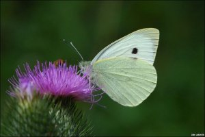 Cabbage White butterfy credit Jim Asher
