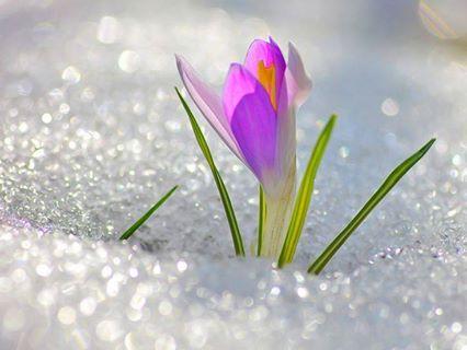 flower snow crocus purple