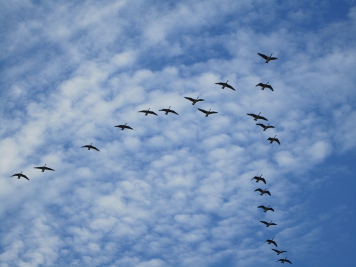 Canada Geese flying in V formation