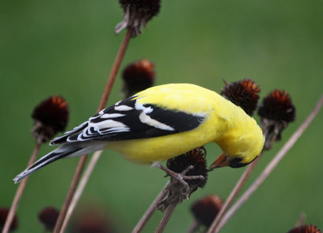 goldfinch-eating-black-eyed-susan bird