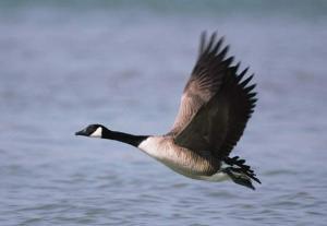 goose-picture-3