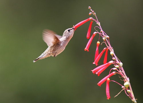 Hummingbird and Pineapple Sage