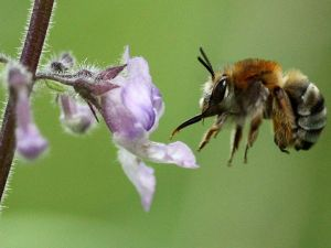 flying-bee-flower