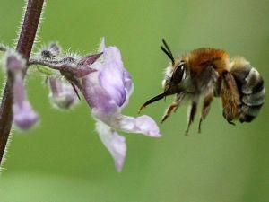 flying-bee-flower