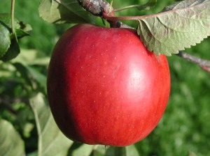 apple-with-leaf