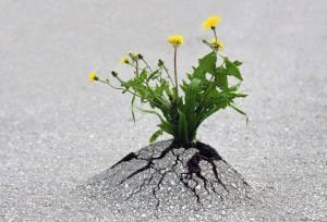 flower nature determination dandelion crack