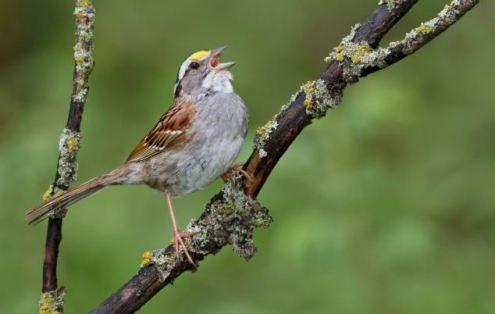 White-throated Sparrow (Zonotrichia albicollis) perched on a branch in Manitoba, Canada.