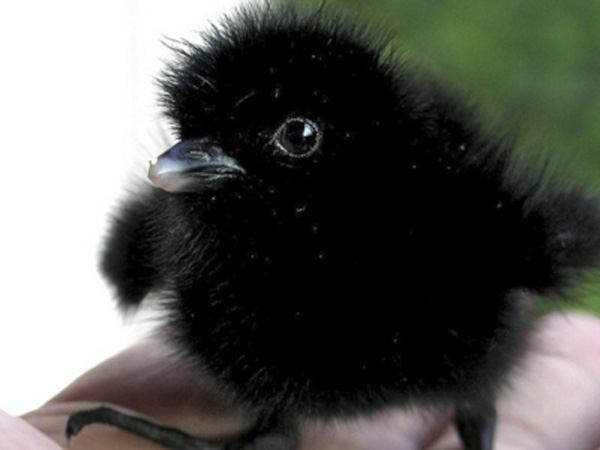 baby crow bird cute