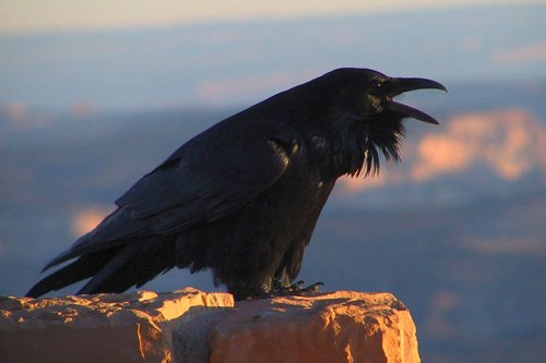 common_raven_calling_nps raven not crow corvid bird