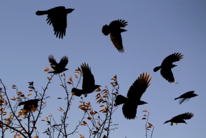 "Crows fight the wind as they take off from a tree near 5th Avenue and Carey Avenue Wednesday night.  A group of crows is called a ""murder."" This name came about because a group of crows will sometimes kill a dying crow.  Michael Smith/Wyoming Tribune Eagle"