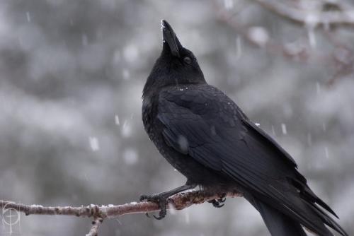 crow _little_by_shochin-d4otx57