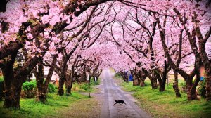cherry blossom trees spring cat path