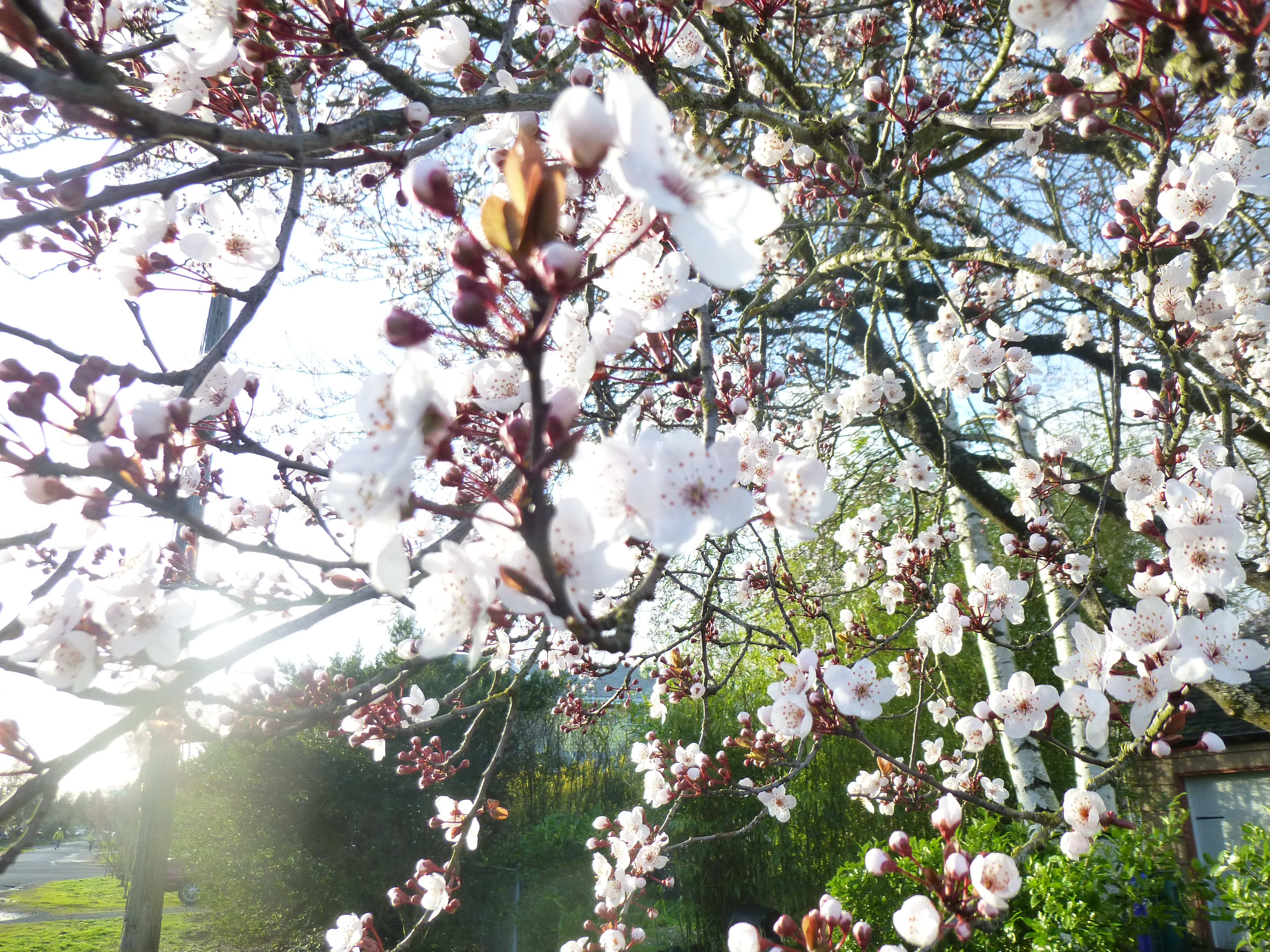 spring blossoms light tree beauty