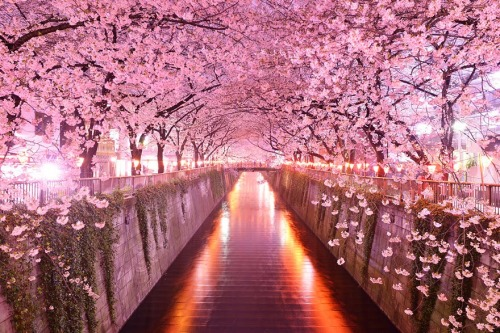 Spring cherry blossoms Sakura-Tunnel Japan Tree-Tunnels