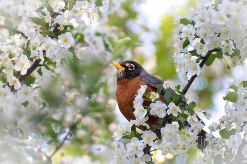 spring robin by Denny Beck bird flowers nature