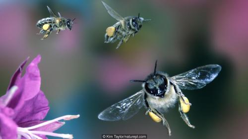 Honey bee workers {Apis mellifera} flying towards flower, Digital composite, UK.
